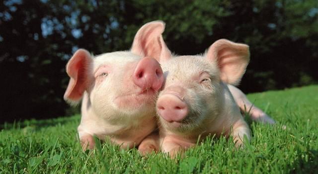 Жизненный цикл свиного цепня и строение