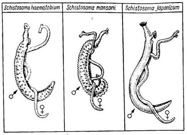 Строение и жизненный цикл шистосом